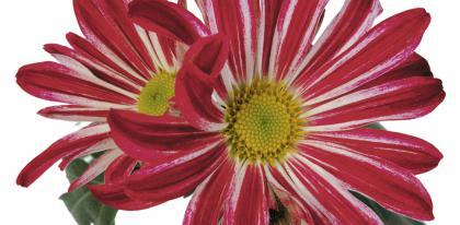 Chrysantheme chrydance