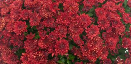 Chrysantheme multifleurs