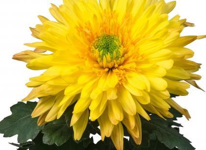 Anika jaune