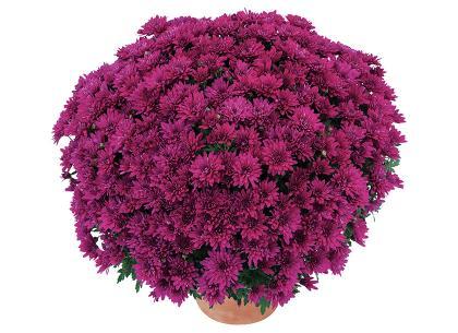 Bahia violet