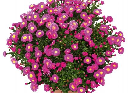 Calypso rose foncé