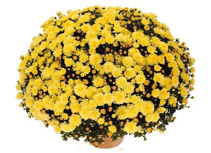 Toubo jaune