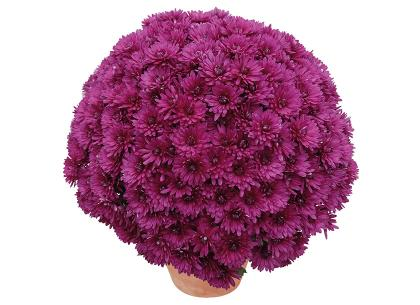 Bella violet