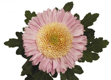 Rosela rose