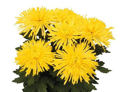 Linda jaune