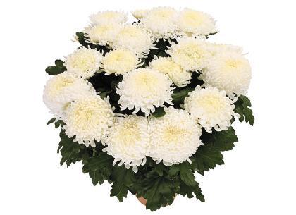 Aria blanc