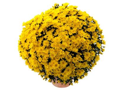 Melissa jaune