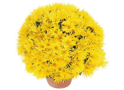 Falbala jaune