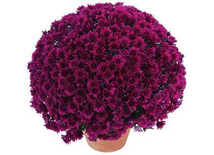 Latina violet '14