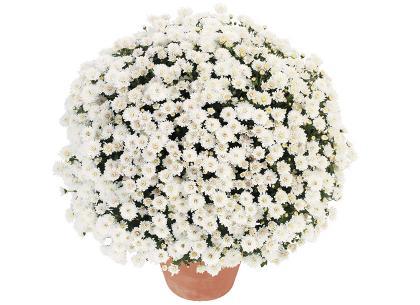 Pollux blanc