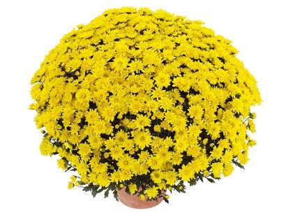 Songa jaune