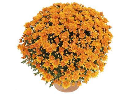 Songa orange