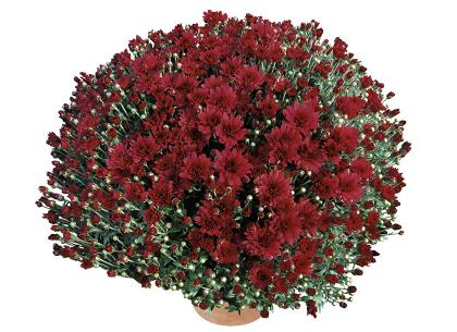 Idaho rouge