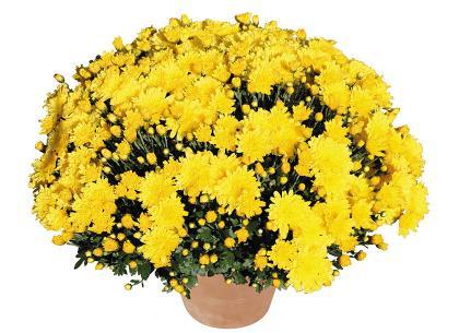 Macao jaune