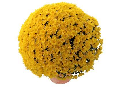 Sublima jaune